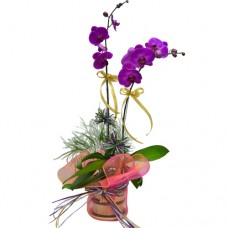 Fathers Day 2pcs Taiwan Orchids